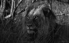 Watching From The Shadows (philnewton928) Tags: africanlion lion pantheraleo predator carnivore bigcat bigfive mammal animal animalplanet wild wildlife nature natural biyamiti kruger krugernationalpark africa southafrica outdoor outdoors safari nikon nikond7200 d7200 monochrome blackandwhite bw shadows