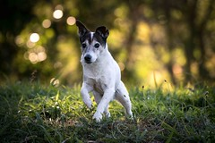 Our 16 year old boy is still doing his exercises every day. (Joep Buijs Photography) Tags: jack russell dog pet bokeh d750 500mm nikon running trees low light sunset