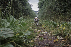 Now I Know How She Feels - 52 Weeks For Dogs, 32/52 (me'nthedogs) Tags: 52weeksfordogs 3252 snaps terrier jackrussell jrt walking hedgerows