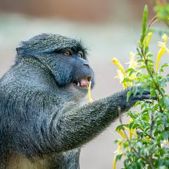 DSC_1836-1 (craigchaddock) Tags: monkey swampmonkey allensswampmonkey allenopithecusnigroviridis sandiegozoo