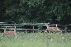 IMG_0181 (thinktank8326) Tags: deer fawn babyanimal babydeer whitetaileddeer