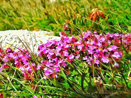 Postals - Flora - Natura - Pirineu - Pas de la Casa - Andorra #flora #natura #pirineu #pasdelacasa #andorra Copyright© 1967 - 2016 - Amadeu Olivella - Barcelona - Catalunya http://www.aolivella.cat