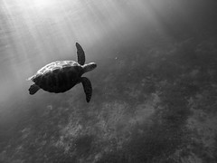 B&W turtle (marcosborsatto) Tags: dive snorkel snorkeling thai thailand asia southeastasia underwater gopro blue colours turtle fish clowfish nemo diving