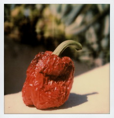 Decay 1 (tobysx70) Tags: the impossible project tip polaroid sx70 instant color film for type cameras impossaroid decay beachwood canyon hollywood hills los angeles la california ca orange bell pepper bellpepper vegetable old rotten wrinkles wrinkled bokeh mint lens set closeup closeuplens worldinstantphotoday poladay 2016 toby hancock photography
