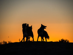 like a pack of wolves (d@neumi) Tags: siberianhusky siberian husky dog dogs hunde hund tier animal sunset sundown silhouette gegenlicht backlighting himmel sky panasonic lumix g7