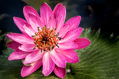 Carroll Creek Water Lily 3-0 F LR 9-11-16 J047 (sunspotimages) Tags: lily waterlily nature flowers flower pink