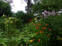 P1110845 (jrcollman) Tags: agapanthus hypericumandrosaemumtutsan leucanthemumxsuperbum plants crocosmialucifer aplant oenothera heleniumsahinsearly oplant pplant phloxxarendsiipingpong hplant 21beechwoodgarden archived lplant cplant