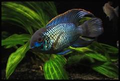 Electric Blue Acara (digit50d) Tags: fish canon 50mm aquarium tropicalfish freshwater 50d electricblueacara