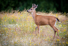 Buck (mLichy911) Tags: seattle wild summer portrait green nature canon wildlife young deer wa buck pnw juanita whitetailed 500f4 7dmarkii