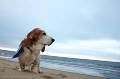 Buster on Patrol (taylor.michaelj) Tags: brown nikon hound basset buster mjt d7000