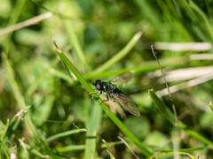 mouche (tongim29) Tags: fly baguedallonge extensiontube mouche