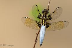 Libellulidae (Philippe Lcuyer) Tags: odonata canon7dmarkii dragonfly nature islamabad libellulidae macro insect macrophotograpie wildlife pakistan