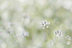Pure as snow (_.Yann Curu ._) Tags: fleur champ douceur blanc blossom flower field sweet gentle bokeh nikon d750 nikkor 5502000mmf4056 curuyann