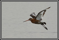 Photo of Godwit coming in to land
