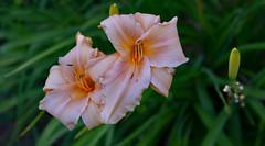 Rolling Doubles (BKHagar *Kim*) Tags: flower yard garden al lily blossom outdoor alabama lilies bloom tanner bkhagar
