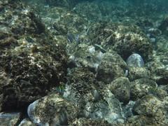縦縞の魚 (lulun & kame) Tags: アメリカ大陸 snorkeling scottshead america dominica シュノーケリング スコッツヘッド ドミニカ