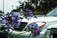 Jupiter 8 50mm f2.0 (zz ma) Tags: california ca test nature public birds focus hummingbird bokeh outdoor sony parking lot places outoffocus sd mf manual copy dop jupiter8 mfd 5020 50mmf2 zeisssonnar a6000