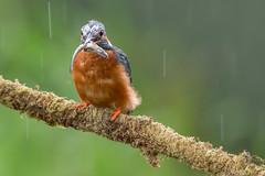 Kingfisher in the rain (John Ambler) Tags: male kingfisher rain lunch fish beak claw orange blue john ambler johnambler wildlife photographer photographs photos ngc