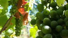 Vigna (Cacummaro) Tags: clusters new summer 2016 samsungs3neo iphone android wine light green nature red
