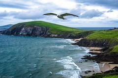 Coumeenole Beach, Ireland (Jerry Cotten) Tags: ireland dinglepeninsula beaches birds seagulls coumeenolebeach jerrycotten rocks ocean cliffs