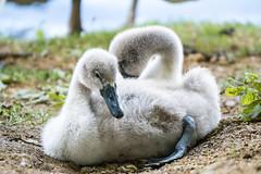 Erschpft - exhausted (ralfkai41) Tags: chicks schwan swan vogel nature birds tiere kcken outdoor hckerschwan natur cygnets