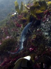 Diving Arranmore (Pauric Ward) Tags: diving scuba wild atlantic way donegal ireland arranmore burtonport marine life underwater