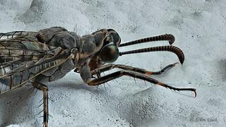 Meine erste Gefleckte Ameisenjungfer (Euroleon nostras) :-)