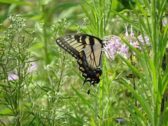 Pennsylvania '16 (faun070) Tags: tigerswallowtailbutterfly wildlife insect butterfly longwoodgardens papilioglaucus ~lovephotography~