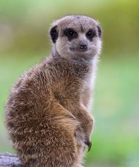 Meerkat (BarryJansen) Tags: olympus omd em1 mzuiko 40150 pro animal zoo burgers arnhem meerkat