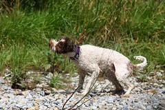 summer dogs 2016-012 (swissnature3) Tags: dog summer