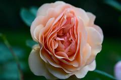 July in my garden (balu51) Tags: garten abend rose englischestrauchrose blume blte grn apricot 60mm closeup garden flower bloom green 100xthe2016edition 100x2016 image27100 summer juli 2016 copyrightbybalu51