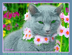 IN loving memory of Megumi (Dhyana died august 4th 2016) Tags: meg megumi love friend euthanasia bestfriend kitty animal pet portrait hommage memorial death mort lost end fini morte bluecat