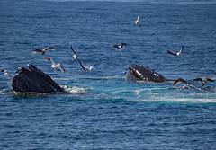 Feeding (Grace.Win) Tags: massachusetts capecod animal em10 omd olympus whalewatch amazing bubblenest eating feeding humpbackwhale humpback whale