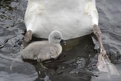 Swan chick close-up (Pim Stouten) Tags: zwaan swan labut cygnus cygnusolor witswaan hckerschwan schwan muteswan bird oiseau ptk vogel vol watervogel waterbird chick kuiken kken jong young