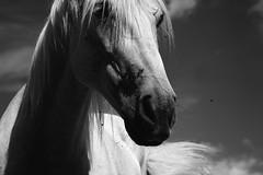 Ghost Riders in the Sky (explored) (stephanie_ruebenach) Tags: canon 100 festbrennweite horse pferd white weis sky himmel flies fliegen free frei