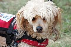 Service dog? (Vurnman) Tags: california norcal nevadacounty grassvalley nevadacountyfair countyfair fair summer dog servicedog
