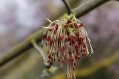 Flowers on the bare branches (Greenstone Girl) Tags: wilsonbotanicpark plants box elder acer negundo