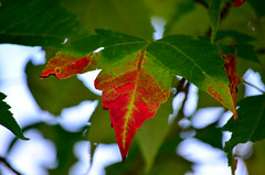 Beginning of the end (James_D_Images) Tags: maple leaf changing colour red green fall autumn decay vancouver britishcolumbia foliage fallfoliage