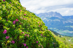Rhododendron in the Alps (harald.bohn) Tags: rhododendron alpene kitzbhel