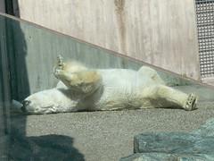 Wilhelma P1660440 (martinfritzlar) Tags: zoo tiere stuttgart garten ursus bären eisbär wilhelma botanischer säugetiere