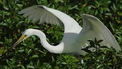 Egretta garzetta; Little Egret. (quoll2) Tags: ardeidae littleegret egrettagarzetta goldcoastbotanicgardens geo:country=australia sigma400mmf56apotelemacro