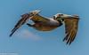 Tranquility (briancrumpton74) Tags: nikon28300mm nikond700 pelecanusoccidentalis monlouisisland alabama mobilebay pelican