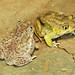 Hurter's Spadefoot and Plains Spadefoot