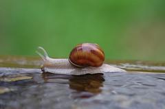 Weinbergschnecke (Aah-Yeah) Tags: bayern snail helix schnecke achental weinbergschnecke schneckenhaus chiemgau pomatia marquartstein