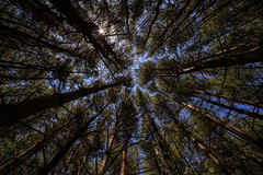 Field of Heroes (Dalliance with Light (Andy Farmer)) Tags: trees abstract nature forest project woods memorial pattern wideangle pines wpa helyarwoods superwide fieldofheroes rokinon14mm