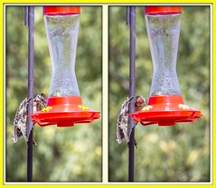 Ladder-Backed Woodpecker (Sugardxn) Tags: arizona southwest birds animals photoshop woodpecker hummingbird tucson beak birdfeeder feeder redhead talon fowl animalplanet 2up ladderbackedwoodpecker picswithframes sugardxn garypentin