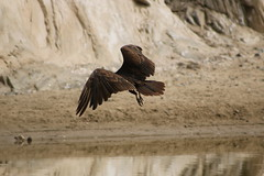 IMG_4571 (californiajbroad) Tags: bird nature turkey outdoors wildlife vulture