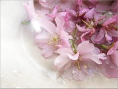 s2 (tarengil) Tags: blossom tree floral pink white sakura hanami