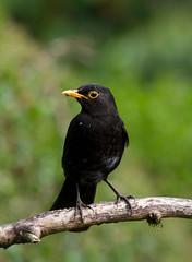 Mr Blackbird (Mukumbura) Tags: blackbird male bird turdusmerula britain garden nature wildlife
