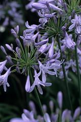 rain rain rain (HiroAranoJPN) Tags: nokton58mmf14sliin provia100f film flower agapanthus  purple  nikonf6
